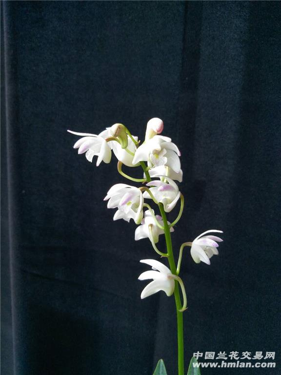 澳洲香水石斛(白色花)