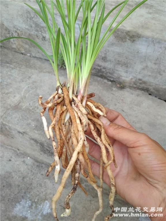 豆瓣兰经典品种水晶复色梅