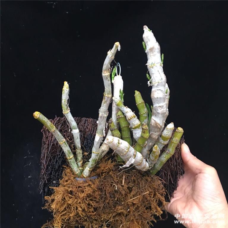 野生高档麝香石斛种植蛇木板带多花 - 中国兰花交易网