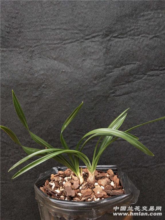 所有分类 下山春兰(型草)  最长叶: 14.5cm, 最宽叶:0.图片