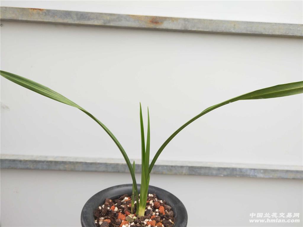 玉珠荷 - 中国兰花交易网