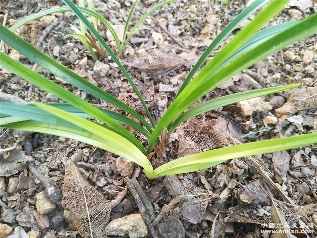 所有分类 原下山春兰黄变异草未见花(可寄养)  最长叶:20cm, 最宽叶图片