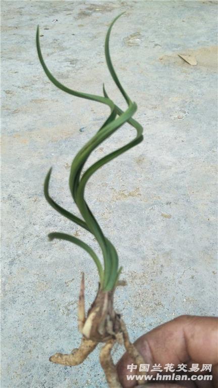 春兰螺旋扭曲奇草芽 - 中国兰花交易网图片
