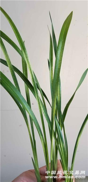 新品蛇皮斑 - 中国兰花交易网