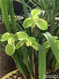 老盆口《宋梅》8.5苗带花