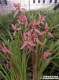 映山红  4大壮苗2花苞1开口芽1小芽