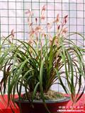 特壮-红红火火(4苗1花苞)