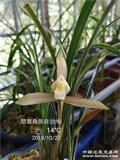 龙根朵香彩素已开花!3苗2花2米芽