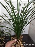24盆栽蕙兰带花苞