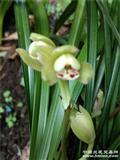 名山荷仙,全自然种植