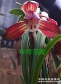 中华丽荷2苗(不带花)