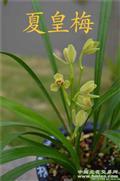夏皇梅,3苗头8叶,全自然种植