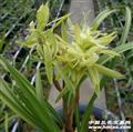 花开富贵4苗1花苞