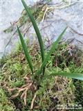 刚下山漂亮叶型草,带皮草