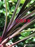 红得发紫漂亮红蕙下山草