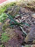 原始下山新品春兰特漂亮矮种鱼肚型皮草分成四份1