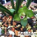 皇后【绿云】2苗带1芽