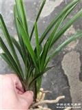 下山惠兰连苗木纹头型草带圆花苞