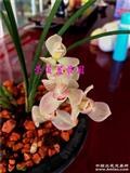 粉荷:2苗3小芽点1花苞—漂亮垄头特壮苗