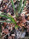 下山大宽叶荷草,叶质特殊厚壮