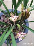 天彭牡丹4苗带花苞