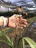 惠兰   红香妃1盆5苗2花