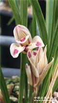 剑阳蝶4苗带花苞