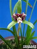 紫三星(壮苗带花苞)