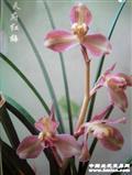 正中-天府红梅(引种)