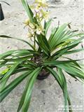 香兰10苗3花