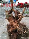 大杜鹃树桩