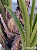 称干直立叶型草!边稿进化艺:头圆有收根收根
