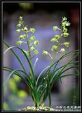 大白菜 GH2-121502 带花苞特大草