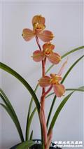 太平红梅-2苗带花苞