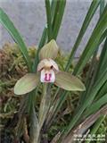 香花带龙根花型漂亮
