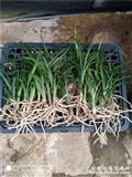 下山龙根绿兰30棵32苗一起拍!