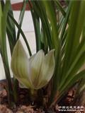 大荷型瓣矮壮型瓣子厚7苗3花