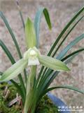 香花春兰新品,大花瓣型素,带花