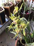阳台草绿牡丹2苗