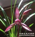 【滇红】1母1新苗带芽