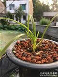 下山朱金变异斑 种出的新草