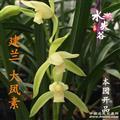 大凤素(2)7个苗10芽