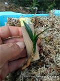 龙根绿兰矮桩草型带水晶!