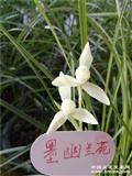 白玉素~6苗2芽(原盆发货)
