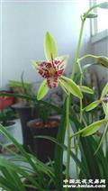 朝阳三星蝶,带一花苞,粗壮