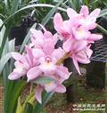 杂交兰樱花