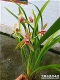 仙山红1花苞