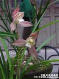 红霞素纯新苗