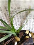 莲瓣兰高级水晶