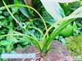 刚挖送春中矮种进化艺生草